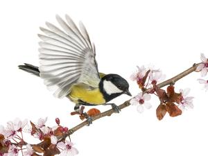 Male Great Tit Taking off from a Flowering Branch - Parus Major, Isolated on White by Life on White
