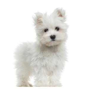 Maltese Puppy Standing, Looking At The Camera, 2 Months Old, Isolated On White by Life on White
