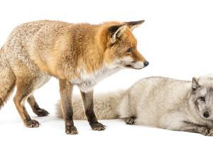 Red Fox, Vulpes Vulpes, Standing and Arctic Fox, Vulpes Lagopus, Lying, Isolated on White by Life on White