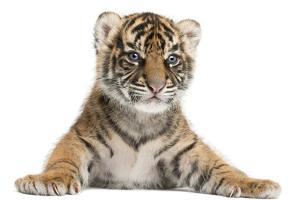 Sumatran Tiger Cub - Panthera Tigris Sumatrae by Life on White