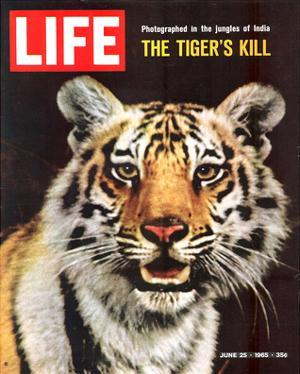 LIFE The Tiger's Kill 1965