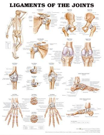 Ligaments of the Joints Anatomical Chart Poster Print