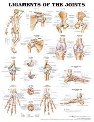 Affordable anatomy charts posters for sale at allposters ligaments of the joints anatomical chart poster print publicscrutiny Image collections