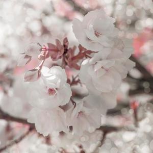 Pinky Blossom 4 by LightBoxJournal