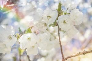 White Spring Blossoms 01 by LightBoxJournal