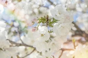 White Spring Blossoms 03 by LightBoxJournal