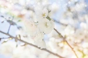 White Spring Blossoms 05 by LightBoxJournal