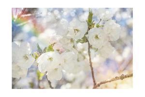White Spring Blossoms 06 by LightBoxJournal