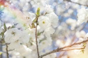 White Spring Blossoms 07 by LightBoxJournal