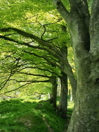 Line of Beech Trees in a Wood in Spring