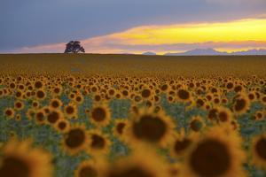 Sunflower Field by Lightvision LLC