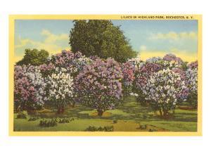 Lilacs, Highland Park, Rochester, New York