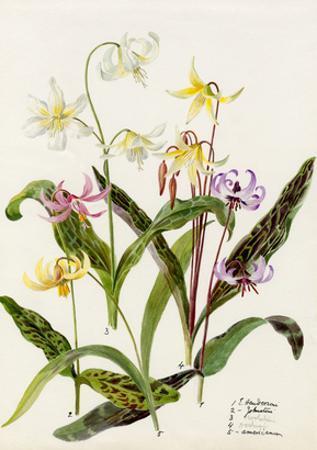 Erythronium hendersoni, Erythronium johnstoni, Erythronium revolutinum, Erythronium hartwegi, Eryth