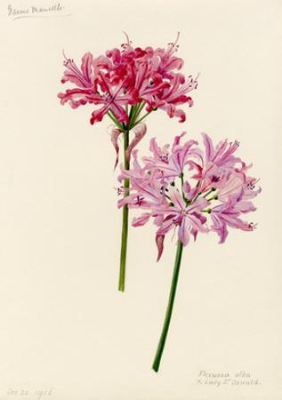 Nerine manselli, flexuosa alba × Lady St Oswald