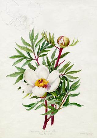 Paeonia clusii