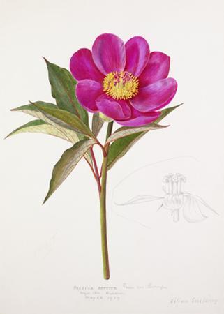 Paeonia russoi var. leiocarpa