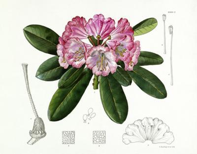 Rhododendron vernicosum