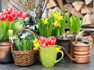 Tulips, Snowdrops and Narcissus Blooms by LiliGraphie