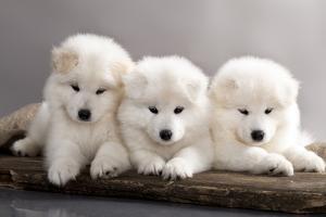 Funny Puppies of Samoyed Dog (Or Bjelkier) by Liliya Kulianionak