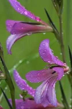 Field Gladiolus (Gladiolus Italicus) Close-Up of Flowers Covered in Raindrops, Limassol, Cyprus by Lilja