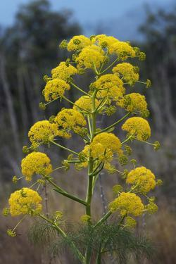 Giant Fennel (Ferula Communis) Flower, Kaplica, Northern Cyprus, April 2009 by Lilja