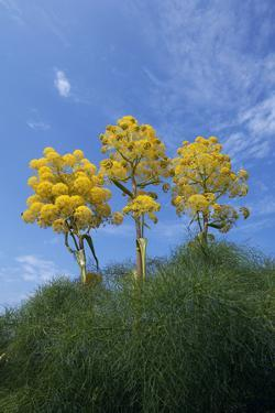 Giant Fennel (Ferula Communis) Plants in Flower, Kaplica, Northern Cyprus, April 2009 by Lilja