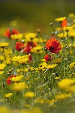 Meadow with Field Poppy (Papaver Rhoeas) and Crown Daisy (Chrysanthemum Coronarium) Flowers, Cyprus by Lilja