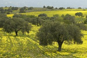 Olive Trees with by Yellow Bermuda Buttercups (Oxalis Pes Caprae) Kaplika, Northern Cyprus, April by Lilja