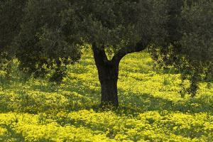 Olive Trees with Flowering Bermuda Buttercups (Oxalis Pes Caprae) Kaplika, Cyprus, April by Lilja