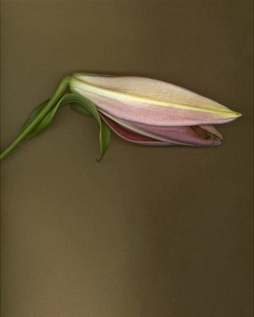 Lily Bud pink brown II