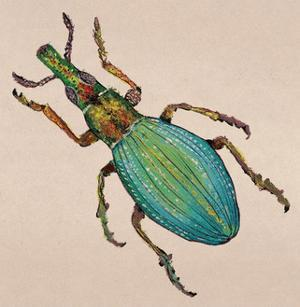 Weevil by Lily Greenwood