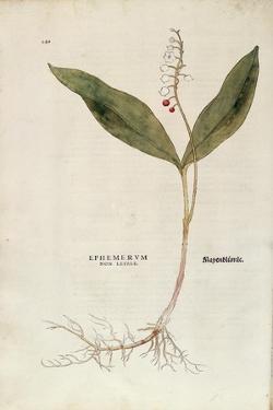 Lily of the Valley - Convallaria Majalis (Ephemerum Non Letale) by Leonhart Fuchs from De Historia