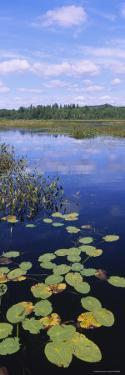 Lily Pads in a Marsh, Adirondack State Park, Adirondack Mountains, New York, USA