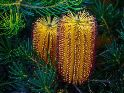 Native Banksia Flower by Lily Zdilar