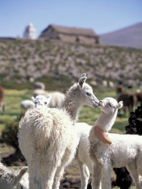Mother and Baby Alpaca with Catholic Church in the Distance, Village of Mauque, Chile by Lin Alder