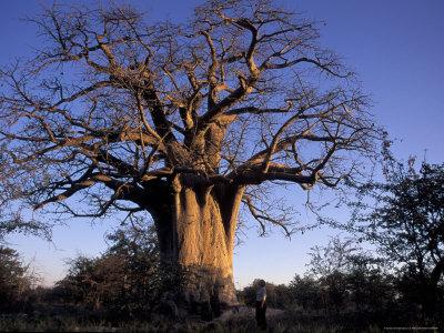 Near Gweta Baobab Tree in Evening with Dried Pods Hanging from Branches, Botswana