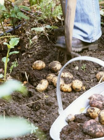 Harvesting Potatoes: Lifting Potatoes out of Ground with Fork by Linda Burgess