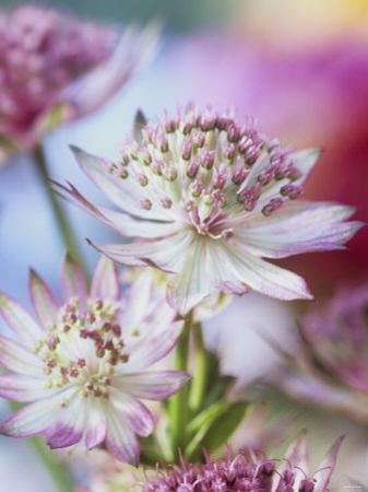 Masterwort (Astrantia Major Rubra, Close-Up) by Linda Burgess