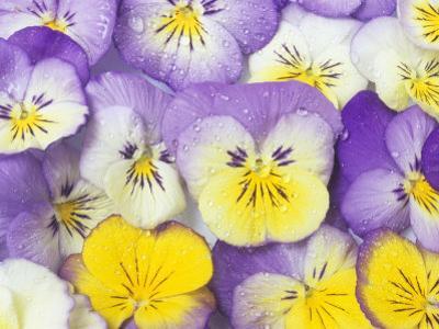 Yellow and Purple Pansies by Linda Burgess