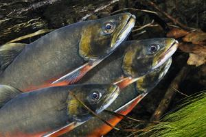 Arctic Charr (Salvelinus Alpinus) Males Showing Breeding Colours, in Spawning River, Cumbria, UK by Linda Pitkin