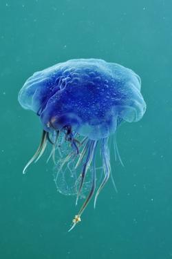 Blue Jellyfish (Cyanea Lamarckii), Feeding on Small Plankton, Lundy Island, Devon, UK by Linda Pitkin