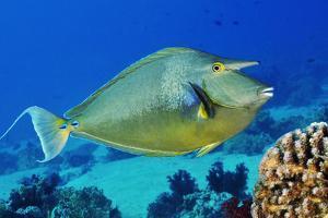 Bluespine unicornfish, Ras Mohammed National Park, Egypt, Red Sea. by Linda Pitkin