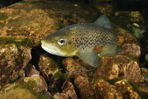 Brown Trout (Salmo Trutta), Ennerdale Valley, Lake District Np, Cumbria, England, UK, November 2011 by Linda Pitkin