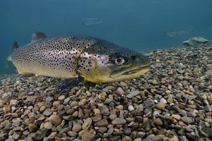 Brown Trout (Salmo Trutta) Jackdaw Quarry, Capernwray, Carnforth, Lancashire, UK, August by Linda Pitkin