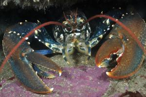 Common Lobster (Homarus Gammarus), in a Rock Crevice, Lundy Island Conservation Zone, Devon, UK by Linda Pitkin