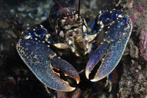 Common Lobster (Homarus Gammarus), St Abbs Berwickshire, Scotland, UK, October by Linda Pitkin
