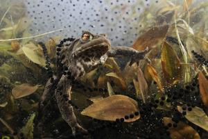 Common Toad (Bufo Bufo) in a Pond, with Toad Spawn and Frogspawn, Coldharbour, Surrey, UK by Linda Pitkin