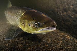 Female Atlantic Salmon (Salmo Salar) Migrating Up River, River Caldew, Cumbria, England, November by Linda Pitkin