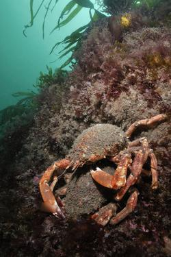 Spiny Spider Crab Pair on Rock Covered with Red Algae, Lundy Island, Devon, England, UK by Linda Pitkin