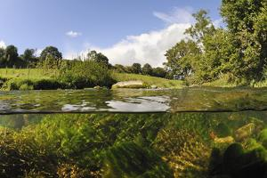Split-Level View of River Leith with Water-Crowfoot (Ranunculus Fluitans) Growing Underwater, UK by Linda Pitkin